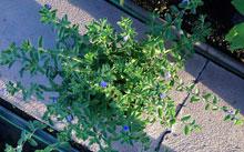 Hoa trang trí sân vườn, ban công tại hà nội