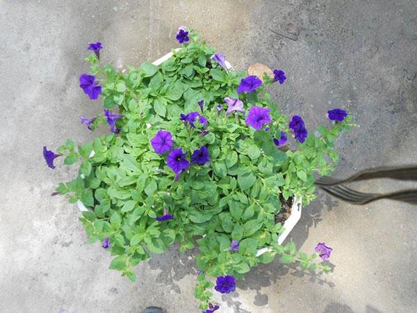 hoa dạ yến thảo và triệu chuông 1
