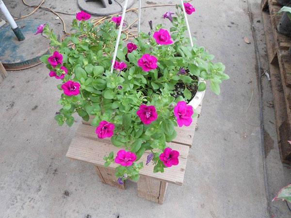 hoa dạ yến thảo và triệu chuông 2