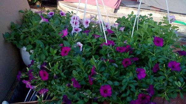 hoa dạ yến thảo và triệu chuông 3