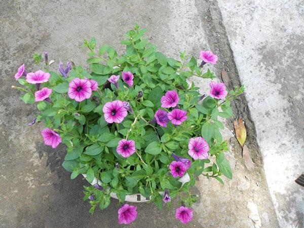hoa dạ yến thảo và triệu chuông 4