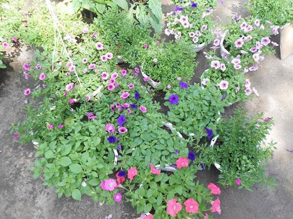 hoa dạ yến thảo và triệu chuông 5