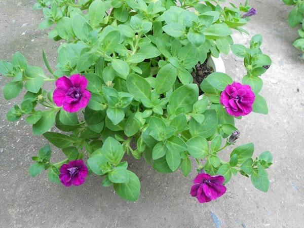 hoa dạ yến thảo và triệu chuông 6