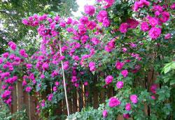 Ngắm hoa hồng leo cực đẹp