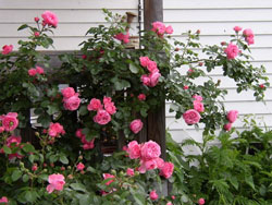 Trồng và chăm sóc hoa hồng leo