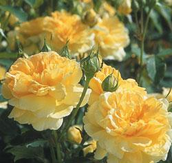Hoa hồng bụi Molineux