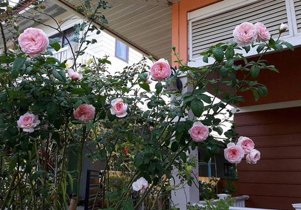 Hoa hồng Mon Coeur | Bán chậu hoa hồng Mon Coeur