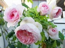 Hoa hồng Mon Coeur