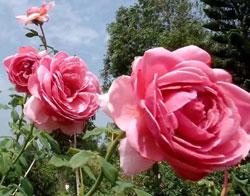 Hoa hồng ngoại Princess Alexandra of kent rose