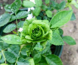 Hoa hồng xanh được ví như vị chúa tể của các vị thần – muốn tìm một nữ hoàng cho thế giới loài hoa thì hẳn Người sẽ chọn hoa hồng
