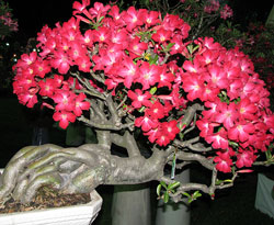 Hoa sứ có dễ trồng không, hoa sứ chăm sóc như thế nào để cây ra hoa và có thế đẹp
