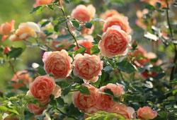 Hoa hong Masora đẹp