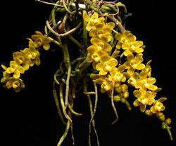 Căn diệp thái hoa xổ không lá hàng đẹp mới về sẵn giò, lan căn diệp thái hàng 2 mắt 1 giò nhiều rễ