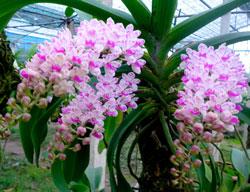 Còn mấy trụ lan Đai Châu hàng ghép được trên 2 năm hàng cực đẹp tất cả đang có vòi hoa chơi tết