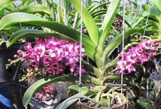 Cây hàng thái, cho ra bông đẹp đúng dịp tết. Hoa có màu hồng và trắng, cây có ít nhất 2 vòi hoa