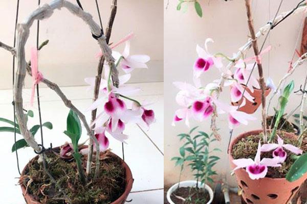 Giả hạc Daklay có mặt hoa