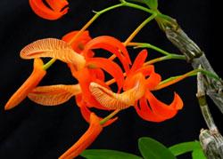 Lan hoàng thảo đơn cam