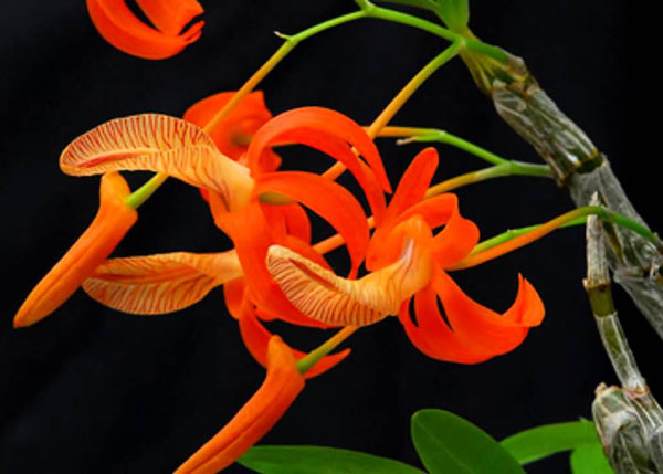 Lan hoàng thảo đơn cam hàng cực đẹp mới về cho khách hàng lựa chọn, hàng rừng bán theo Kg nhé
