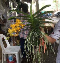 Lan giáng hương hoa vàng hàng cực đẹp mới về có đầy đủ hàng cho bác nào lấy số lượng