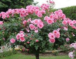 Cách tự ươm hoa hồng tại nhà