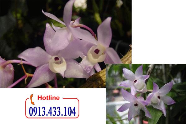 Vườn Hoa Gia Đình chuyên cung cấp bán buôn bán lẻ hoàng thảo thập hoa số lượng lớn toàn quốc, hoàng thảo thập hoa  có hoa nhỏ mọc thành trùm trông rất đẹp