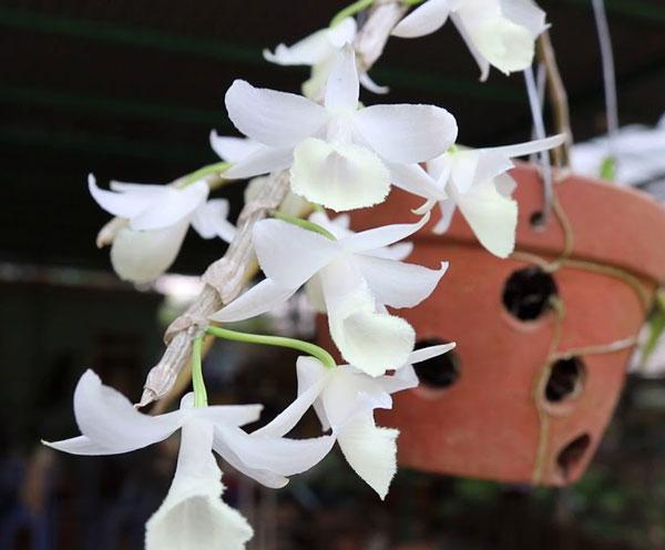 Mặt hoa hạc vỹ đột biến trắng tinh