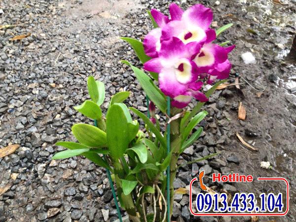Lan Dendro mùa xuân mini và loại lớn hoa đẹp