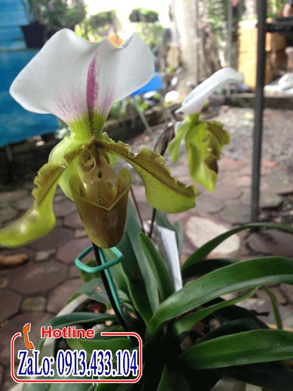 Hoa lan hài