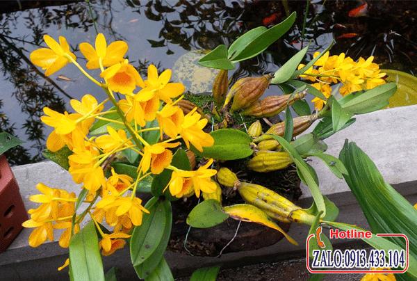 Sơn thủy tiên hàng đẹp mới về, sơn thủy tiên ghép giò hàng rừng cực đẹp, vườn hoa gia đình chuyên cung cấp bán buôn bán lẻ các loại lan rừng theo cân đến mọi nơi