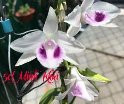 Phi điệp 5 cánh trắng minh khai mặt hoa đẹp và có giá trị kinh tế cao, cánh bầu to và dày, kei cắt trên thân hoa.