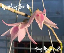 Nguyệt Lãng Thiên Môn đột biến mặt hoa đẹp, Mặt bông căn tròn đây cũng là top những mặt bông được nhiều người ao ước