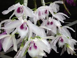 Cây có thể đạt chiều dài 1,5m khi ra hoa, bông to. Em bán cây con, mỗi cốc có 2 ngọn