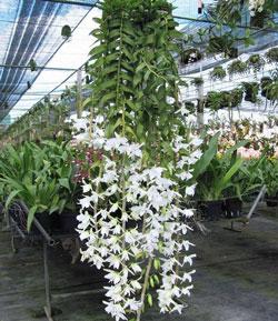 Bán lan giả hạc Hawaii tím và trắng loại cây giống, cây đã bám dễ khỏe trong cốc nhựa tại Hà Nội