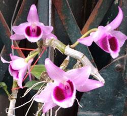 Lan phi điệp lai trầm Nestor cây giống thuần chủng hàng cực khỏe, thân tím mập, cây cho hoa chắc chắn sẽ rất đẹp và độc