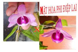 Lan phi điệp lai cây giống hàng đẹp, cây lai giữa 2 loại phi điệp có mặt hoa của cả 2