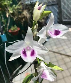 Lan trầm 5 cánh trắng mắt Blue cây khỏe đẹp cây được nhân giống mới mặt hoa cực đẹp