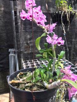 Vườn lan gia đình bán giò trầm 6 mắt có một không hai bao đẹp, chậu được ghép 2 năm hiện tại đang hoa, thân rất nhiều mầm khỏe chậu 2 mặt hoa.