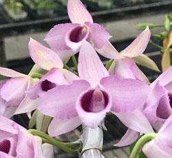 Hoa phong lan lục bình cốc 1 thân cây nhiều rễ bám khỏe và đẹp, thân dài tầm 15cm đang phát triển