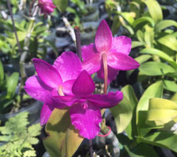 Vườn hoa gia đình vừa về lô lan trầm tím 6 cánh đang nụ hoa cực thơm, có mặt hoa thực tế trong bài viết