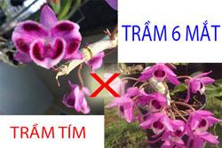 Trầm 6 mắt lai trầm tím cực đẹp cây khỏe, nhiều rễ bám, cốc thường 2 đến 3 ngọn dài từ 15cm đến 20cm tím ngắt
