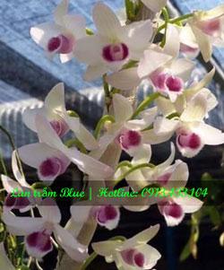 Lan trầm Blue cây giống trong cốc nhựa, thân to mập, rễ bám khỏe, cây dễ chăm sóc hoa sai và rất thơm