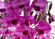 Trầm hồng nương thân mập, hoa đẹp. Nhìn là thích, không tí vết, hàng thái.Ship hàng toàn quốc, từ Hà Nội