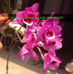 Bán lan trầm tím cánh mai cây giống toàn quốc, hàng đẹp giá rẻ đặt hàng ngay kẻo hết. 0913433104